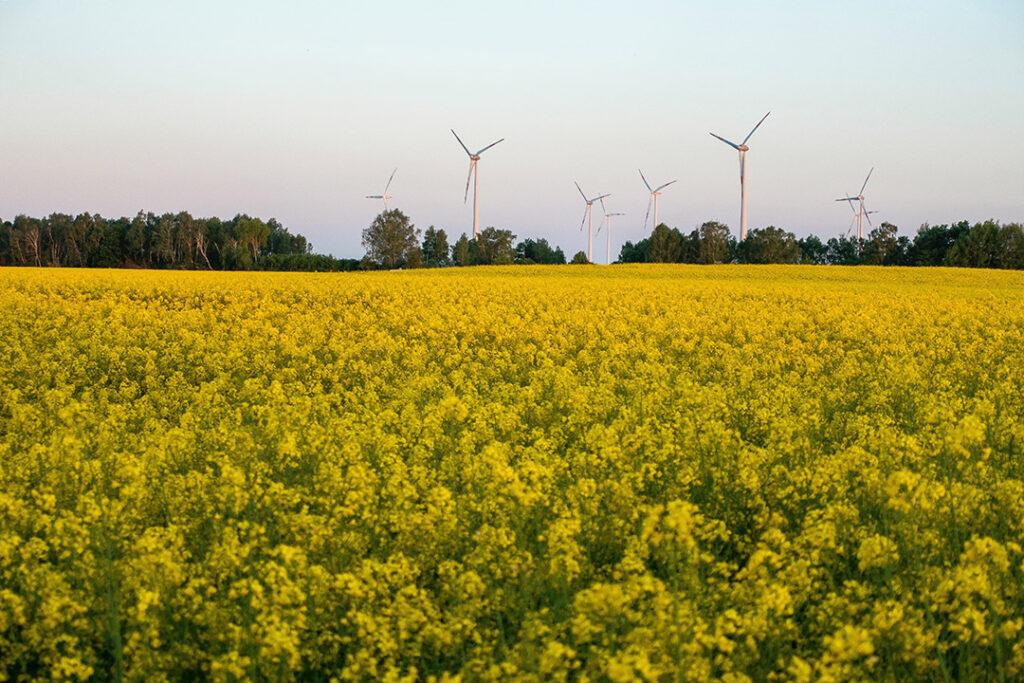Eine Blumenfeld mit gelben Blumen. Im Hintergrund stehen Windanalgen.